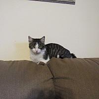 Adopt A Pet :: Kit Kat - Hazard, KY