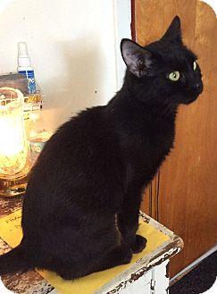 Domestic Shorthair Cat for adoption in Mt Pleasant, Pennsylvania - Ebbie