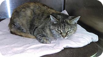 Domestic Shorthair Cat for adoption in Parma, Ohio - Shannon