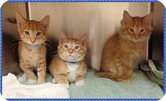 Domestic Shorthair Kitten for adoption in Marietta, Georgia - DAN, DORIAN, DIEGO