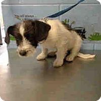 Terrier (Unknown Type, Small) Mix Puppy for adoption in San Bernardino, California - URGENT ON 12/6  San Bernardino