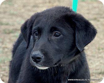 Clumber Spaniel/Labrador Retriever Mix Puppy for adoption in Waterbury, Connecticut - NIKEY