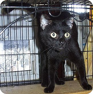 Domestic Shorthair Cat for adoption in Lindenhurst, New York - ComeOnYou