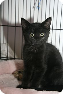 Domestic Shorthair Kitten for adoption in East Brunswick, New Jersey - Mystery
