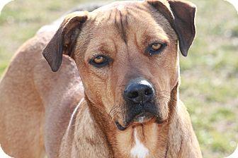 Rhodesian Ridgeback/Labrador Retriever Mix Dog for adoption in Russellville, Kentucky - Brianna