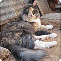 Domestic Longhair Cat for adoption in Las Cruces, New Mexico - Tracy Ann