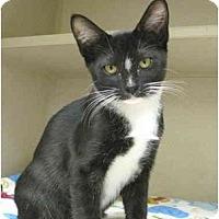 Adopt A Pet :: Gizmo - Mesa, AZ