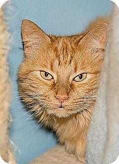 Domestic Longhair Cat for adoption in Ashland, Massachusetts - Gia (3)