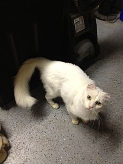 Domestic Mediumhair Cat for adoption in San Jose, California - Duke