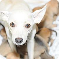 Adopt A Pet :: Pancake - Waco, TX