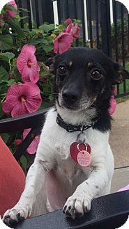 Toy Fox Terrier/Chihuahua Mix Dog for adoption in Coopersburg, Pennsylvania - Bud