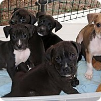 Hound (Unknown Type)/Shepherd (Unknown Type) Mix Puppy for adoption in Allentown, Pennsylvania - Heads up on the L and M Litter