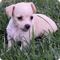 Adopt A Pet :: Cindy Crawford - Sacramento, CA