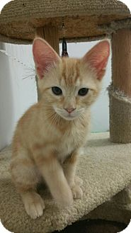 Domestic Shorthair Kitten for adoption in Yorba Linda, California - Finnagan