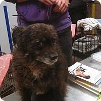 Adopt A Pet :: Bear - Ottawa, KS