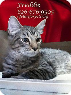 Domestic Shorthair Kitten for adoption in Monrovia, California - A Kitten Boy: FREDDIE