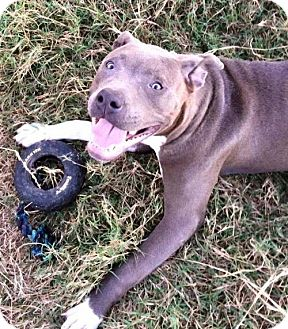 Pit Bull Terrier Puppy for adoption in Boston, Massachusetts - Chronos