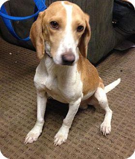 Beagle Mix Dog for adoption in Cincinnati, Ohio - Dallas Beagle