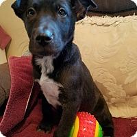 Adopt A Pet :: Black Shepherd Pup - Monrovia, CA