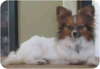 Papillon Dog for adoption in Davis, California - Max
