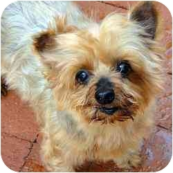 Yorkie, Yorkshire Terrier Dog for adoption in West Palm Beach, Florida - Annie