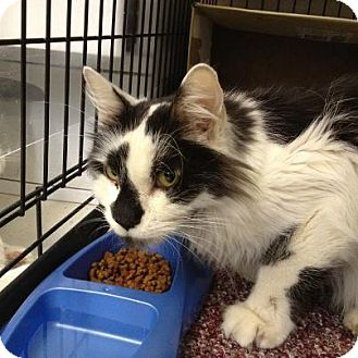 Domestic Longhair Cat for adoption in Island Park, New York - Norton
