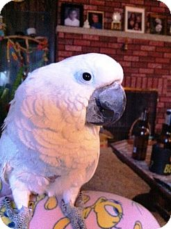 Cockatoo for adoption in Shawnee Mission, Kansas - Bubba