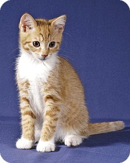 Domestic Shorthair Kitten for adoption in Wayne, New Jersey - Buttercup