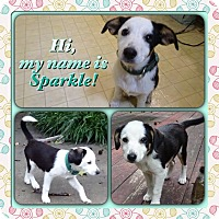 Adopt A Pet :: Sparkle Adoption Pending - Manchester, CT