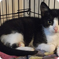 Adopt A Pet :: Sanatoga Siblings! - Colmar, PA
