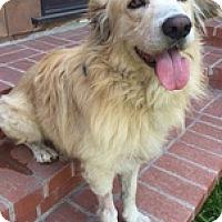 Adopt A Pet :: Sawyer - Torrance, CA