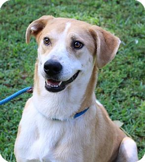 Labrador Retriever/Collie Mix Dog for adoption in Yardley, Pennsylvania - Lola B Celebrate home/ lower fee