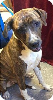 American Pit Bull Terrier/Hound (Unknown Type) Mix Dog for adoption in Westminster, Maryland - Carmella