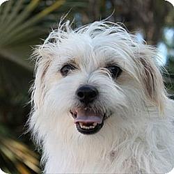 Photo 2 - Terrier (Unknown Type, Medium)/Shih Tzu Mix Puppy for adoption in Davie, Florida - Baby Theodore
