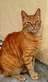 Domestic Shorthair Cat for adoption in Bonita Springs, Florida - Furbe