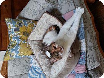 Domestic Mediumhair Cat for adoption in Arcata, California - Gypsy