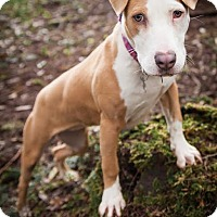 Adopt A Pet :: Stardust - Eugene, OR