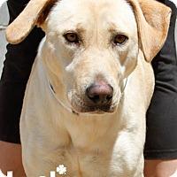 Adopt A Pet :: Candy - Washington, DC