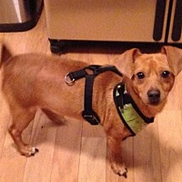Adopt A Pet :: Barnsley - Alpharetta, GA