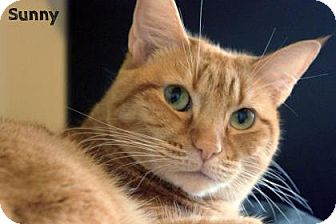 Domestic Shorthair Cat for adoption in Dallas, Texas - Sunny