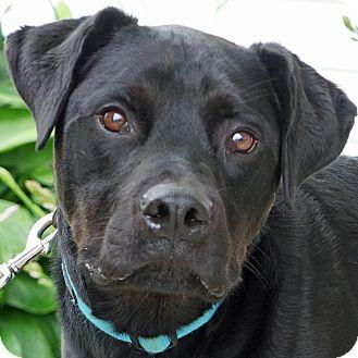 Labrador Retriever/Rottweiler Mix Dog for adoption in Sprakers, New York - Sawyer