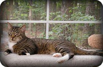 Domestic Mediumhair Cat for adoption in Big Canoe, Georgia - Fritz