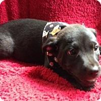Adopt A Pet :: PUPPY-CILANTRO - DeLand, FL
