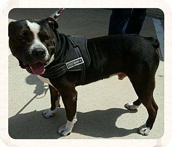 Pit Bull Terrier Mix Dog for adoption in Lake Jackson, Texas - Bullet