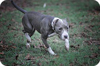 American Pit Bull Terrier Mix Dog for adoption in Wellesley, Massachusetts - Deja
