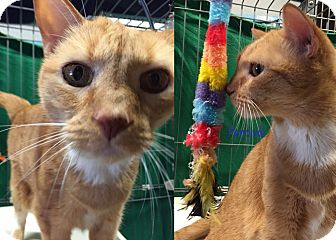 Domestic Shorthair Cat for adoption in Cliffside Park, New Jersey - PERCIVAL