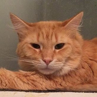 Domestic Longhair Cat for adoption in Montreal, Quebec - Shawn