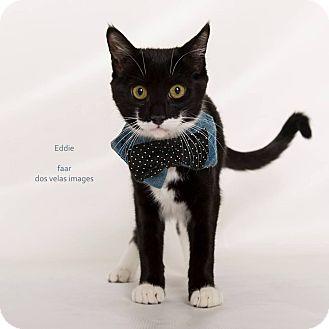 Domestic Shorthair Kitten for adoption in Riverside, California - Eddie