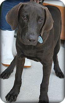 Bloodhound/Labrador Retriever Mix Dog for adoption in Beaumont, Texas - Elroy