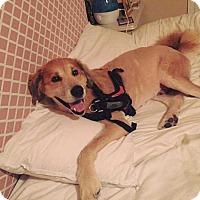 Adopt A Pet :: Spirit - Allen, TX